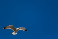 Seagull on sky, blue background Stock Photography
