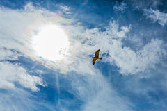 Seagull in sky with clouds and bright sun Royalty Free Stock Photos