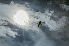 Seagull in sky with clouds and bright sun Stock Photo