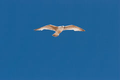 Seagull on the sky. The Flying seagull on a beautiful summer day Royalty Free Stock Photo