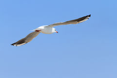 Seagull in the sky. Seagull flying in the clear blue sky Royalty Free Stock Photography