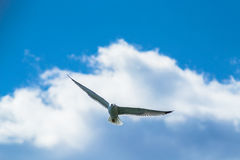 Seagull on The Sky Royalty Free Stock Photo