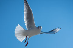 Seagull in the sky Royalty Free Stock Images