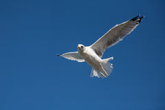 Seagull in the sky looking down Royalty Free Stock Photo