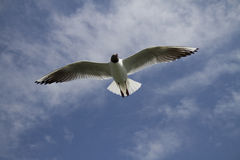 Seagull in the Sky. A natural shot of a seagull in the sky Stock Image