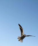 Seagull in sky. Seagull seeks a terrace treat Stock Photo