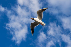 Seagull in the sky. Seagull soaring in the blue sky stock image