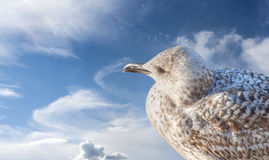 Seagull on the sky, space for text Royalty Free Stock Image
