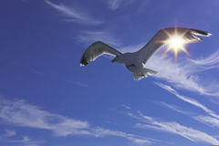 Seagull in the sky. Royalty Free Stock Images