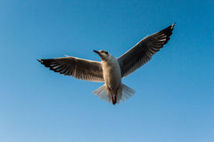 Seagull. The seagull in sky of thailand Royalty Free Stock Images