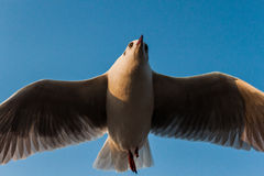 Seagull. The seagull in sky of thailand Royalty Free Stock Image