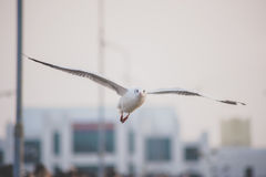 Seagull on the sky Stock Photography
