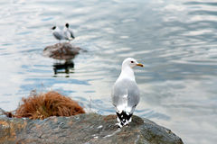 Seagull on small cliff Royalty Free Stock Image