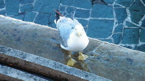 Seagull. Small seagull posing in the water Stock Images