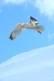 Seagull and snow Stock Image