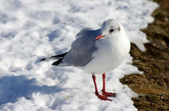Seagull in snow. Seagull on the icy snow ground in a sunny winter day Royalty Free Stock Photos
