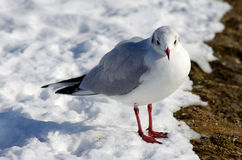 Seagull in snow. Seagull on the icy snow ground in a sunny winter day Stock Image