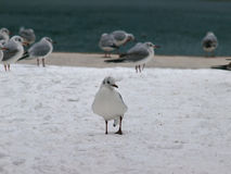 Seagull at the snow Stock Images