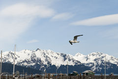 Seagull and snowy mountains Stock Photos
