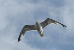 Seagull soaring Stock Images
