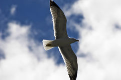 Seagull soaring Royalty Free Stock Photos