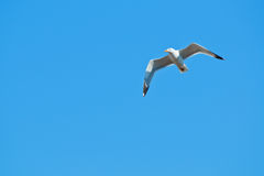 A seagull, soaring in the blue sky Royalty Free Stock Image