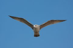 Seagull Soaring in Blue Sky Royalty Free Stock Photos