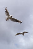 Seagull, soaring in the blue sky Stock Photo