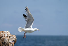 Seagull, soaring in the blue sky Stock Photos