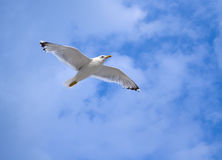 Seagull soaring in the blue sky Royalty Free Stock Image