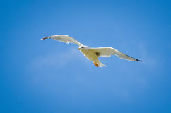 Seagull is soaring in the blue sky Stock Photos
