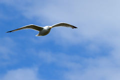 Seagull, soaring in the blue sky Royalty Free Stock Image