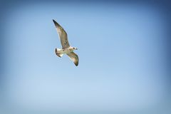 A seagull, soaring in the blue sky. Seagull with spread wings flying against a blue sky Stock Image