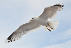Seagull soaring in the cloudly sky stock photos