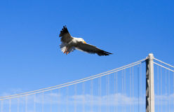Seagull soaring over the Bay bridge, San Francisco Royalty Free Stock Images