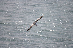 Seagull Soaring Over a Glittering Sea Stock Photo