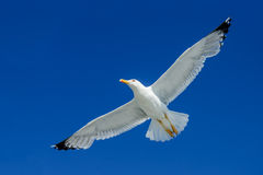 Seagull Soaring Over Head. In Clear Blue Sky Royalty Free Stock Photo