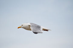 Seagull soaring over the lake Baikal. Stock Photo