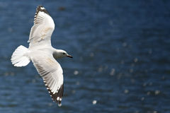 Seagull soaring over the ocean. Seagull gliding over the ocean Stock Photos