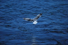 Seagull soaring over the Pacific Ocean Royalty Free Stock Image
