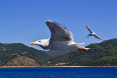 Seagull. Soaring over the sea Stock Photos