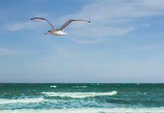Seagull soaring over the sea Stock Images
