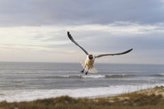Seagull Soaring Over Sunset Sea Dunes Royalty Free Stock Image
