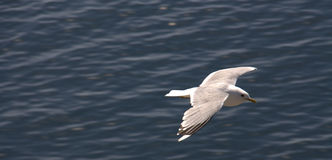 Seagull Soaring Over Water Royalty Free Stock Image