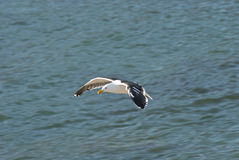 Seagull soaring over water Royalty Free Stock Photo