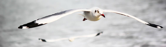 Seagull Soaring. Seagulls soaring on the winds over sea in mumbai stock image