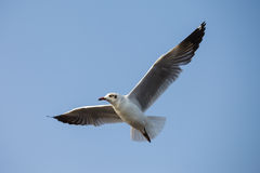 A seagull, soaring in the sky Royalty Free Stock Photo