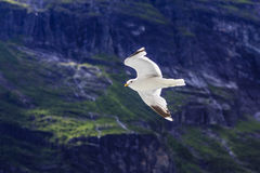 A seagull. Soaring in the sky above the sea in the Geiranger fjord, Norway Royalty Free Stock Photos