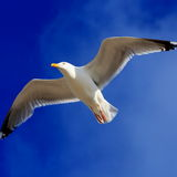Seagull. Soaring in the sky and enjoying its freedom at the coast of Holland Stock Photos