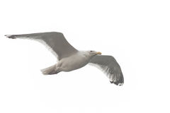 A seagull, soaring in the sky Royalty Free Stock Image